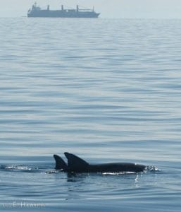Bottlenose Dolphins, Moreton Bay, Australia