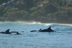 Dolphins in Byron Bay