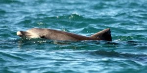 Byron Bay Indo Pacific bottlenose dolphin