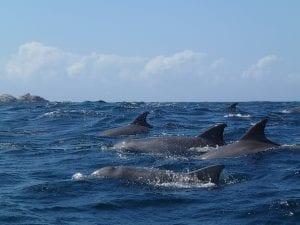 dolphins at Julian Rocks