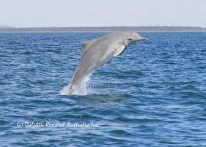 Australian humpback dolphin in Moreton Bay Marine Park