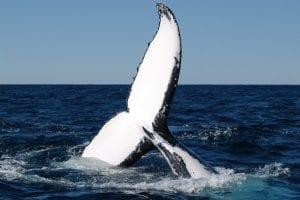 Humpback whale tail fluke (photo: E. Hawkins)