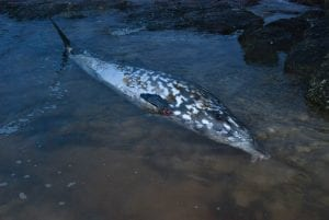 DECC blainvilles beaked whale feb 2010#2