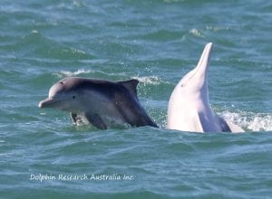 Indo-Pacific humpback dolphins at play near the Brisbane River Port, QLD