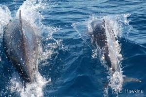 Bottlenose dolphin mother & calf
